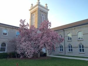 magnolia tree, Easter, 2016